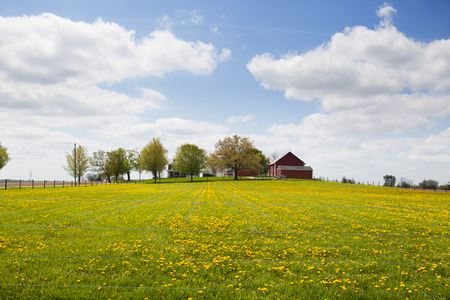 yellow trees: Yellow flowers in a field with a row of trees and red barn