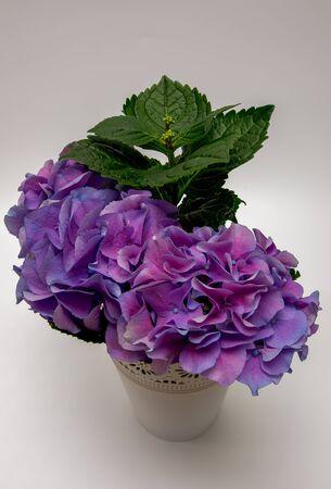 Hydrangea Hydrangea bouquet of fillet pink flowers Imagens