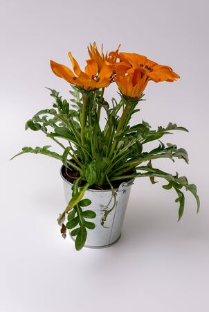 Orange gazania flowers in a bucket on a light background