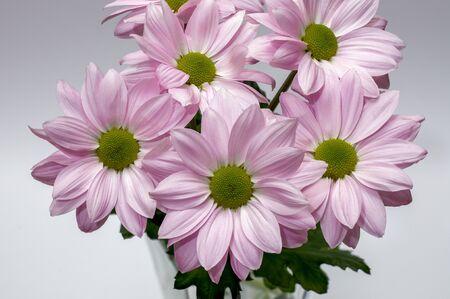 margaret bouquets of pink flowers, jastrun, Leucanthemum vulgare Lam.