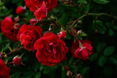 Rosa damascena, a red flower in full bloom, photographed closely