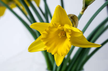 Yellow Narcissus trumpet, daffodil, Narcissus pseudonarcissus, macro, on a light background