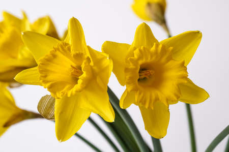 Yellow Narcissus trumpet, daffodil, Narcissus pseudonarcissus, macro, on a light background, bell-shaped flowers, long leaves, ornamental plant Archivio Fotografico