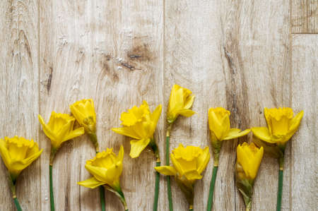 Yellow Narcissus trumpet, daffodil, Narcissus pseudonarciss bell-shaped flowers, macro, long leaves, ornamental plant, floor background