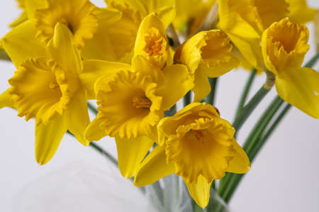 Yellow Narcissus trumpet, daffodil, Narcissus pseudonarcissus, macro, on a light background, bell-shaped flowers, long leaves, ornamental plant