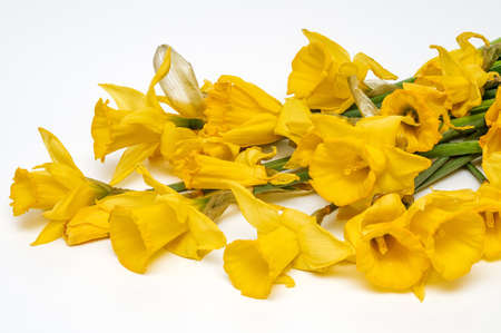 Yellow narcissus, daffodil, (Narcissus pseudonarciss), trumpet narcissus, bouquet of flowers on a light background, flowers in the form of a bell, macro, long leaves, ornamental plant