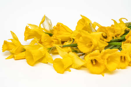 Yellow narcissus, daffodil, (Narcissus pseudonarciss), trumpet narcissus, bouquet of flowers on a light background, macro, long leaves, ornamental plant