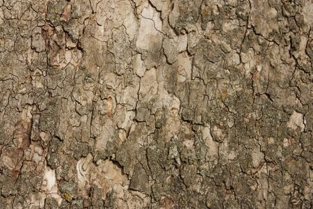 Bark of a sycamore tree to be used as a background Stock fotó