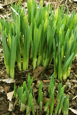 proving: Daffodil shoots are coming up proving that Spring is near.