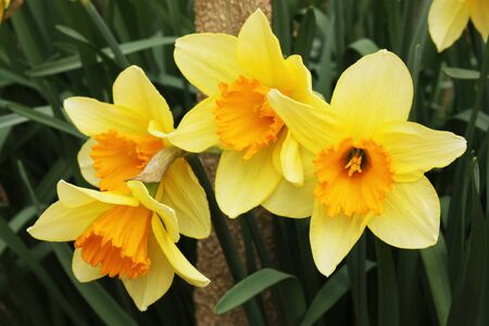 Four daffodils representing the coming of spring Stock Photo - 9135311