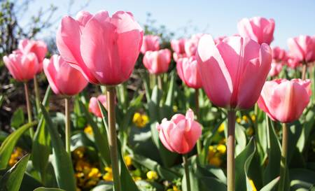 signify: Pink tulips and yellow pansies signify the arrival of Spring