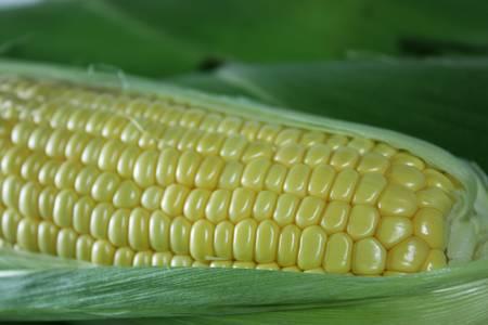 Tasty corn on the cob before shucking Stock Photo - 9429838