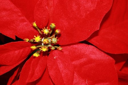 Red poinsetta flower seen around Christmas time Banco de Imagens