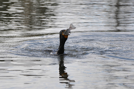 swallowing: Cormorant swallowing trout Stock Photo