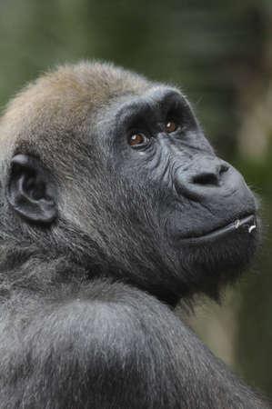 A gorila portrait of Sadiki from the Toronto Zoo. photo
