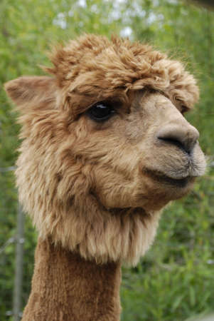 ruminate: A Portrait shot of an alpacas head and neck.