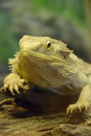 bumpy: Bearded Dragon portrait sitting on wood.