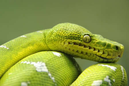 A closeup landscape shot of an Emerald Tree Boa.