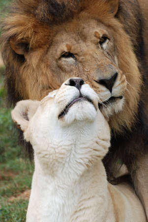 A male and female lion showing affection.