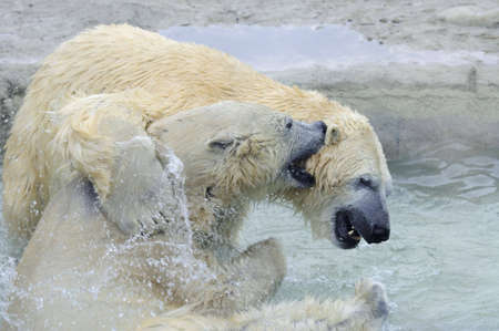 A male and female Polar Bear playing in the water. photo