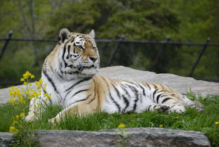 Siberian tiger lying in the grass near flowers