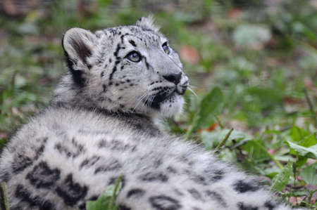 A Snow Leopard cub lying in the grass looking up. photo