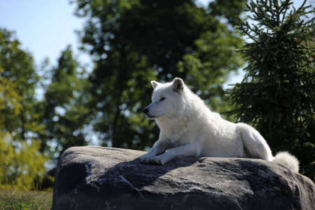 An arctic Wolf resting on a large rock. photo