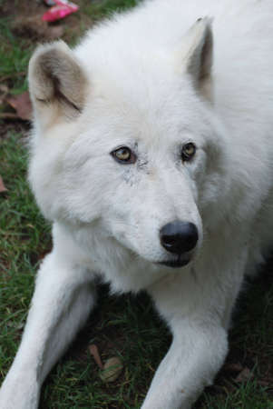 A closeup portrait of an arctic Wolf lying in the grass. photo
