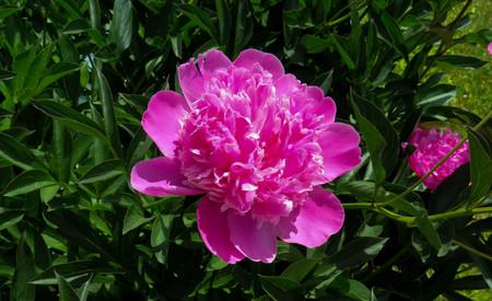 huge pink peony and bud Imagens
