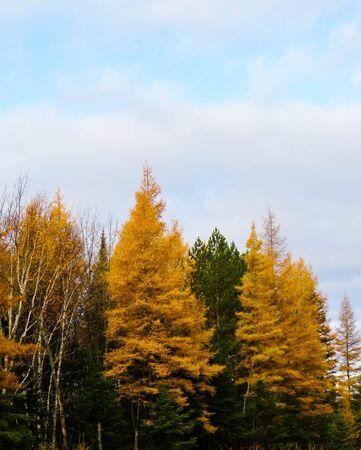 golden tamarack among the green pine