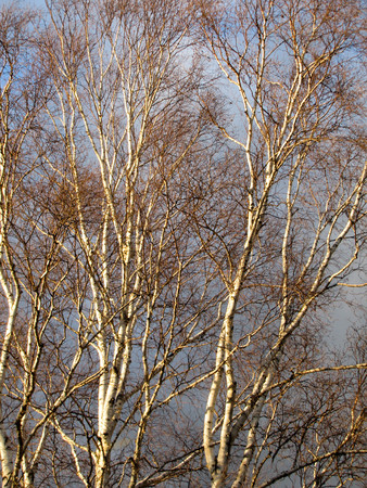 Tall winter birch trees