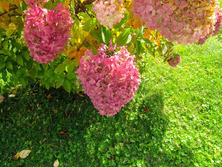 hydrangea shrub in full bloom