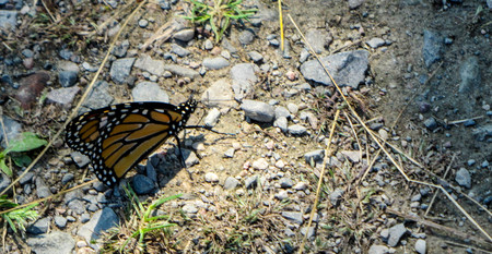 pebles: Monarch butterfly Stock Photo