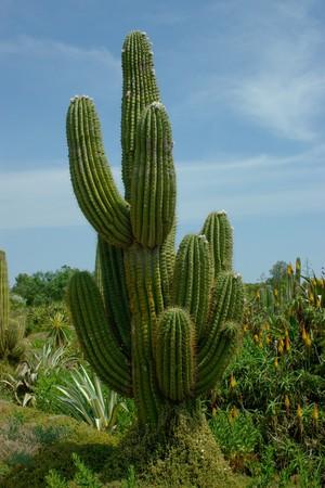 charnu: Cactus belle avec quelques tiges charnues �paisses couverts piquants.