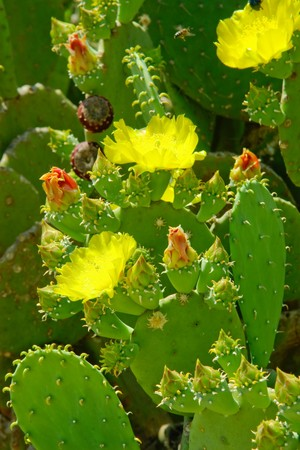Beautiful cactus flowers and green buds on the leaves in the centre of picture. Bright lush colours. Close-up. photo