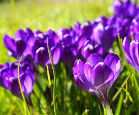 Close up purple crocus flowers. Incredible beautiful spring background. Reklamní fotografie