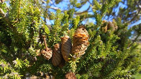 Big fir cones on the branch close up. Reklamní fotografie