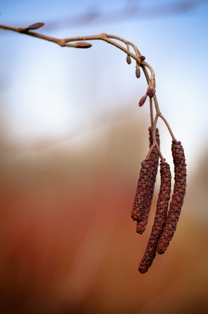 alder tree: Alder tree catkins Stock Photo