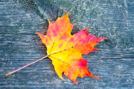 fading: Autumn maple leaf on the wood board Stock Photo