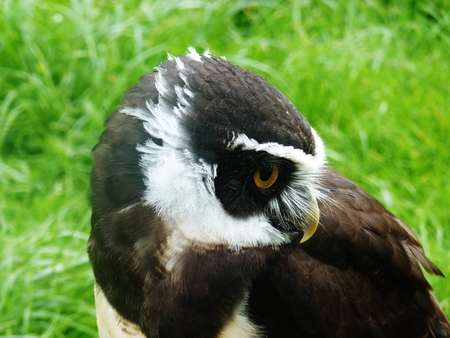 spectacled: spectacled owl captive green grass Stock Photo