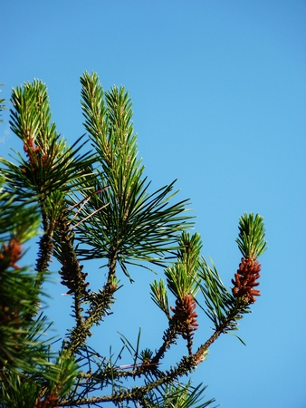 piny: pollen and pine needles against blue sky
