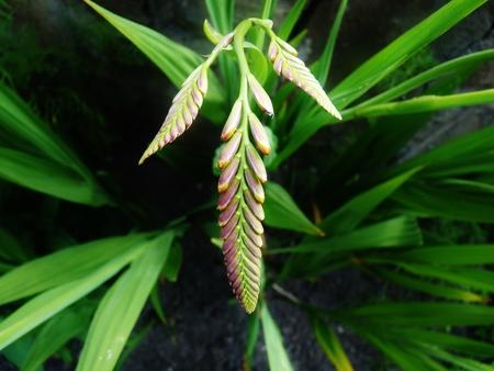 unopen: montbretia plant unopen green leaves