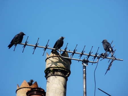 close up chimney: jackdaws on an aerial against blue sky