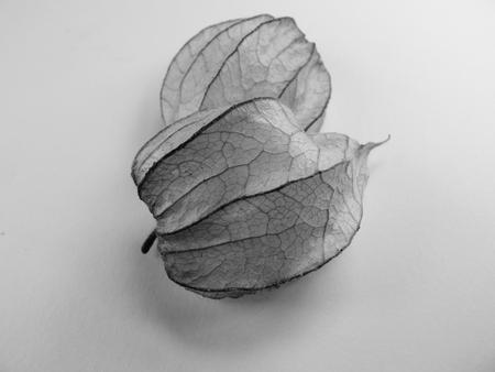 physalis fruit berry husk vein leaf
