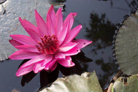 Pink water lily at sunrise floating on pond