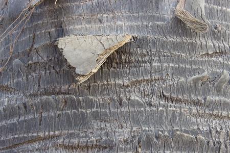 bark palm tree: Palm bark texture ,tree bark background
