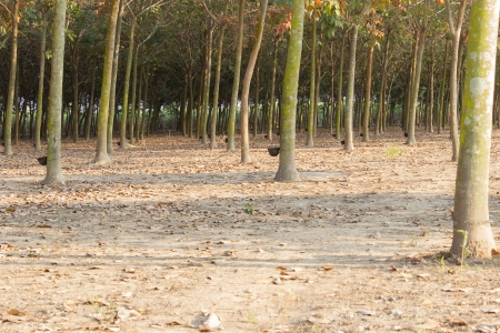 The 5 or 6 year old rubber trees in this plantation are cut daily to give their rubber into small cups  photo