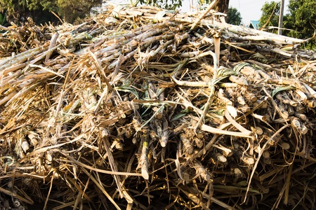 The sugar cane before planting  In  Thailand photo