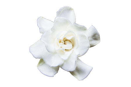 Flowering Gardenia on a white background Stock Photo