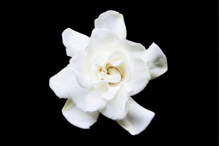 Flowering Gardenia on a black background Stock Photo